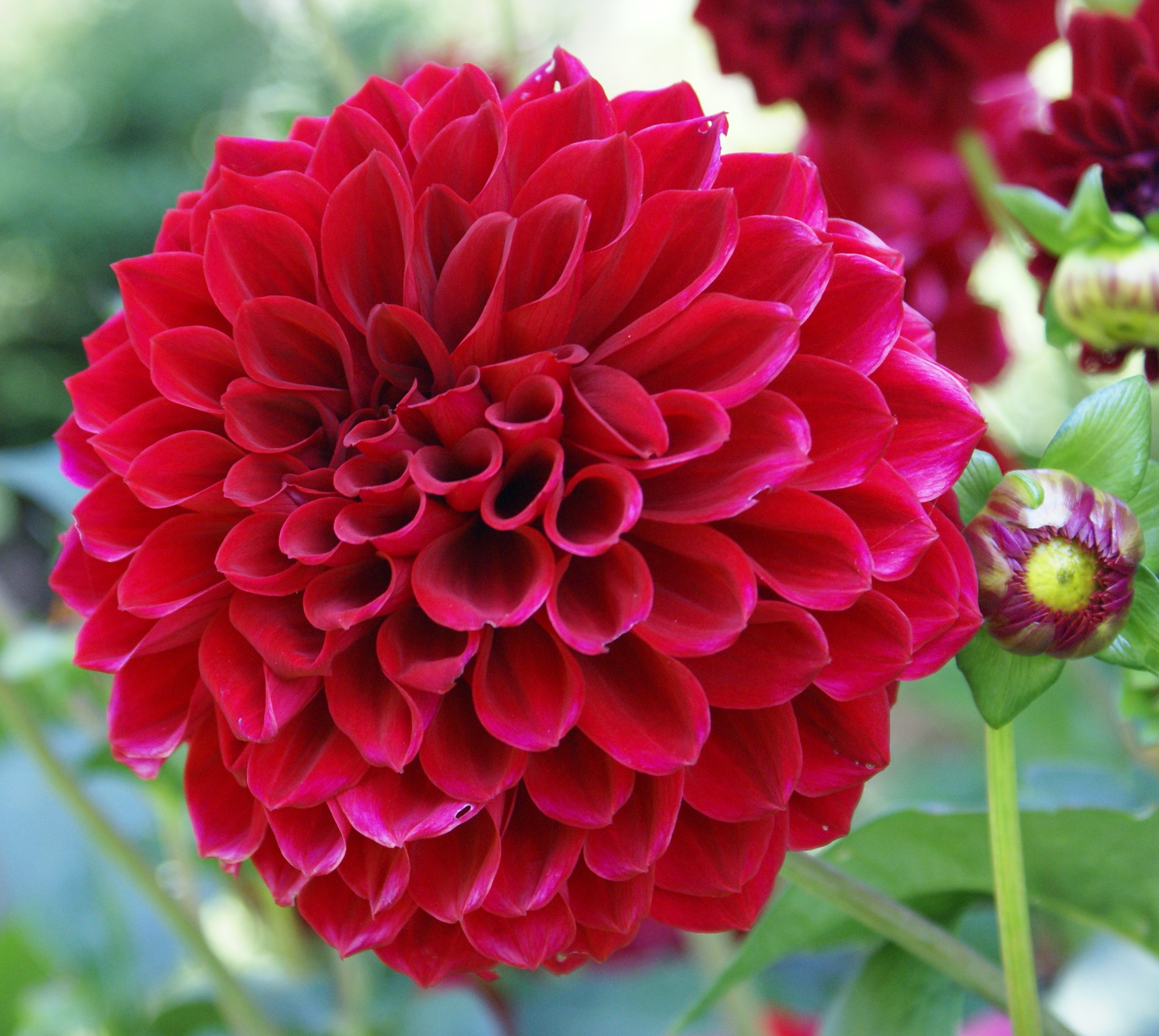 212 the dahlia flower wallpapers dahlia flower images izmirmasajfo